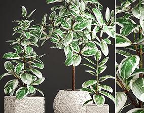 3D Ficus Robusta tree