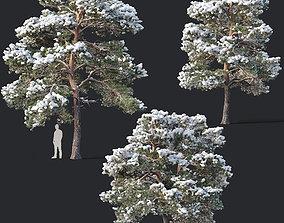 3D Pinus sylvestris Nr7 H7-10m Winter Three tree set