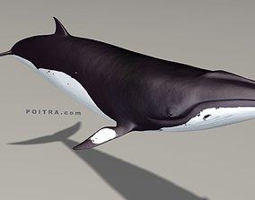 3D model Minke Whale - Balaenoptera Acutoro - Adult Male 3