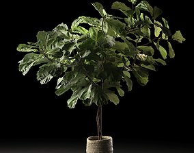 Ficus in Woven Seagrass Basket 2 3D model