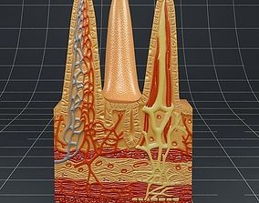 Anatomy Intestinal villi 3D model