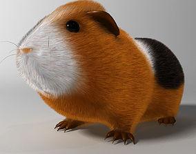 Guinea pig Cavia porcellus Rigged 3D asset