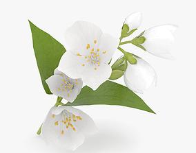 3D model common Jasmine