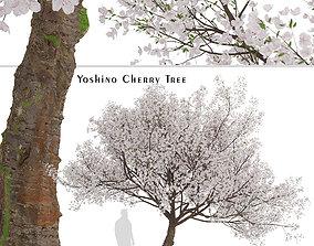 3D Yoshino Cherry or Prunus yedoensis Tree - 1 Tree