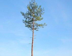 3D Tall Tree