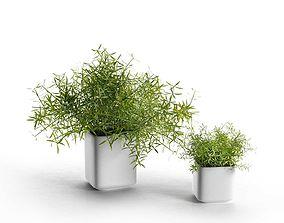 Pots with Asparagus Sprengeri 3D model