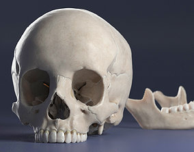 3D model Female Skull teeth