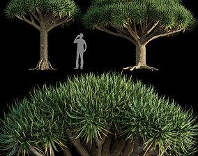 3D model Dracaena draco - Dragon tree