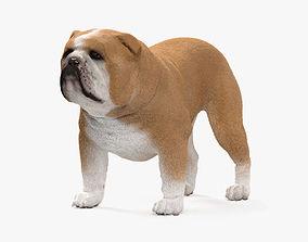 Bulldog HD 3D model