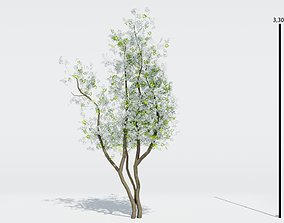 Tree Amelanchier Lamarcki Small 3D