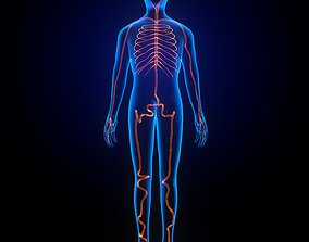 3d male human body arteries anatomy system