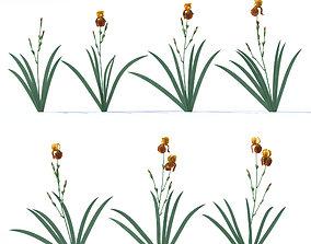 Carroty irises 3D