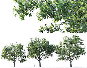 Common oak Nr2 H14-17m Three tree set 3D model