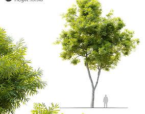 3D model African fern pine-afrocarpus-falcatus 2