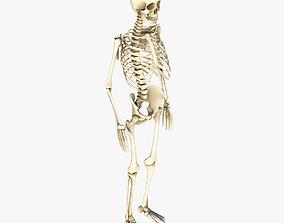 Human Skeleton human 3D model