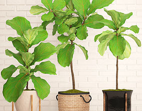Ficus Lyrata Trees collection 3D model