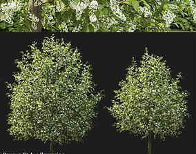 Prunus Padus 04 3D