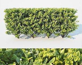 3D Ligustrum ovalifolium Nr2 - modular hedge H60cm