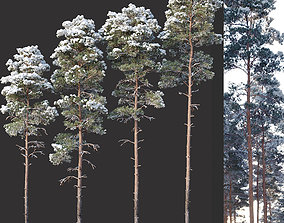 3D model Pinus sylvestris Nr12 H17-22m Winter Four tree