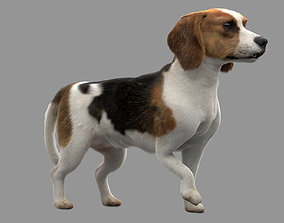 Beagle Fur Animated Rigged 3D