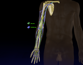 Venous drainage upper limb- vein 3D