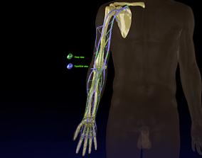 3D model Venous drainage upper limb- vein
