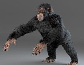 3D Chimpanzee Maya