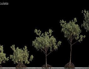 rhizophora Rhizophora Apiculata 3D model