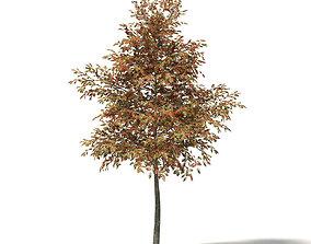 Mountain Ash 3D Model 5m
