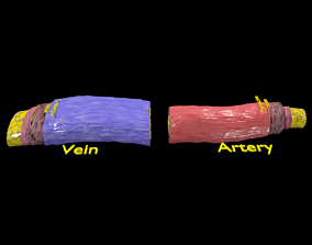 Blood vessel artery vein structure labelled 3D