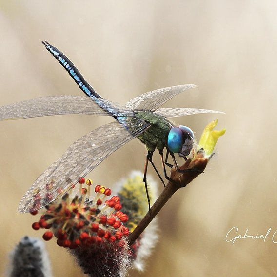 Anax Imperator - The Emperor Dragonfly