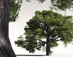 woodland EVERYPlant English Oak 13 -- 10 Models