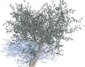 3D model Olive Tree - 01