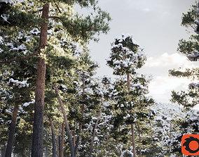 Pinus Syluestriformis Snow Pack of 12 Pines 3D model 1