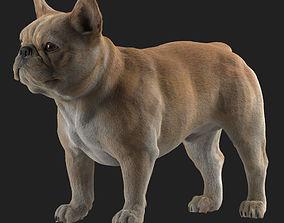 French Bulldog 3D