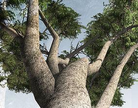 3D asset Acacia Tortilus Tree Set
