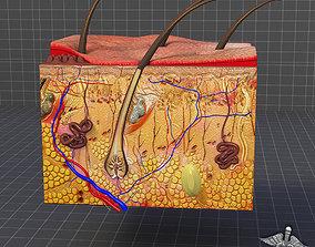 Skin Anatomy model