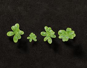 Ground Plants sedum confusum clovers 3D asset