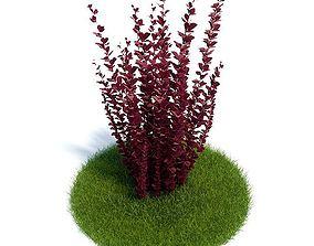 Berberis Thunbergii Plant 3D model