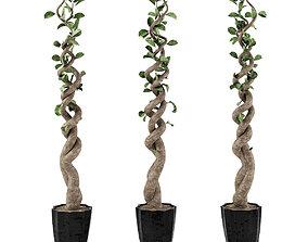 3D model Ficus 2