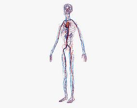 Human Circulatory System atrial 3D model