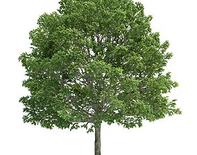 3D model Carpinus Tree Bloomed