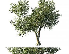 Eucalyptus tree 3D
