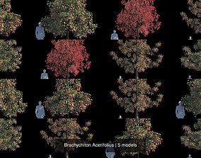 3D model Brachychiton Acerifolius