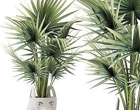 Plants Collection 139 Sabal Minor 3D model