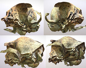 Small photorealistic rodents skull 3D asset low-poly