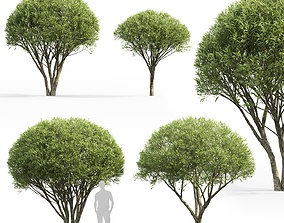 3D model Salix fragilis 01 H2-3m