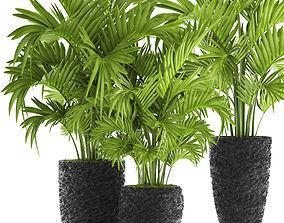 Howea Forsteriana Palm botanical 3D