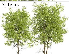 3D model Set of Pampkin ash or Fraxinus profunda Trees - 2