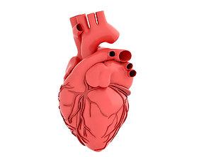 3D model human heart muscular